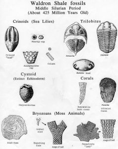Non-Shell Fossils: Crinoids, Trilobites, Cystoid, Corals and Bryozoans